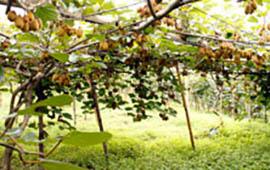 A Kiwi farm in Ilam, Nepal