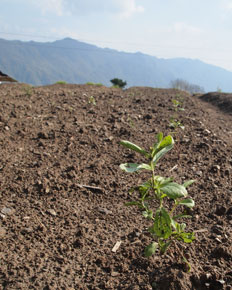 A recently planted Stevia plant