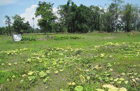 Vegetable patch in lower Laopani