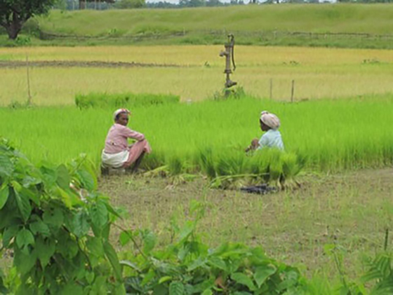 replanting bihari rice seedlings without rain