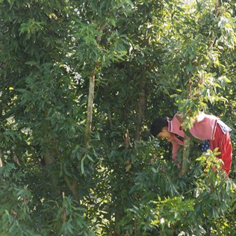 Increasing incomes of the rural poor though bay leaf value chain development
