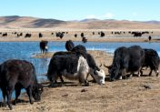 Pakistani Team Travels to China to Explore Possibilities for Strengthening Yak Value Chains in Pakistan