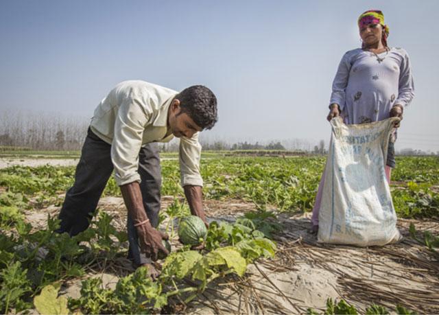 Farmers harvest squash in Uttarakhand, India