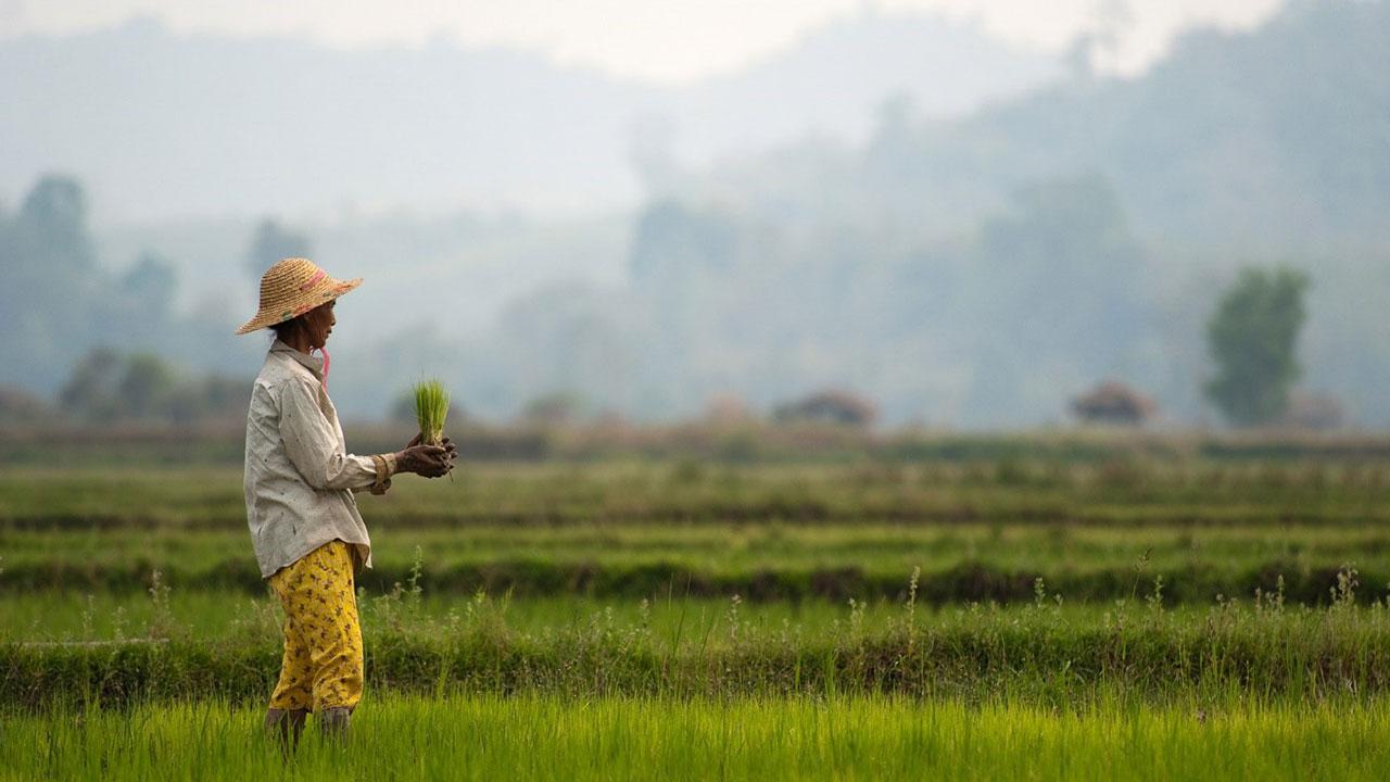 A farmer works in a paddy field in Myitkyina, Myanmar.