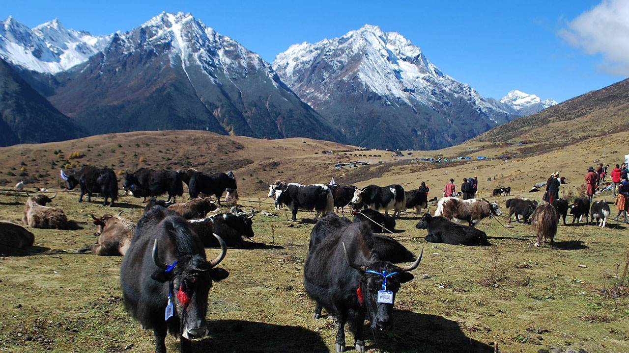 The transboundary landscape approach helps traditional agropastoral practices such as yak herding