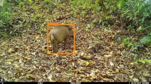 Bounding box acquired from object detection model for Boar
