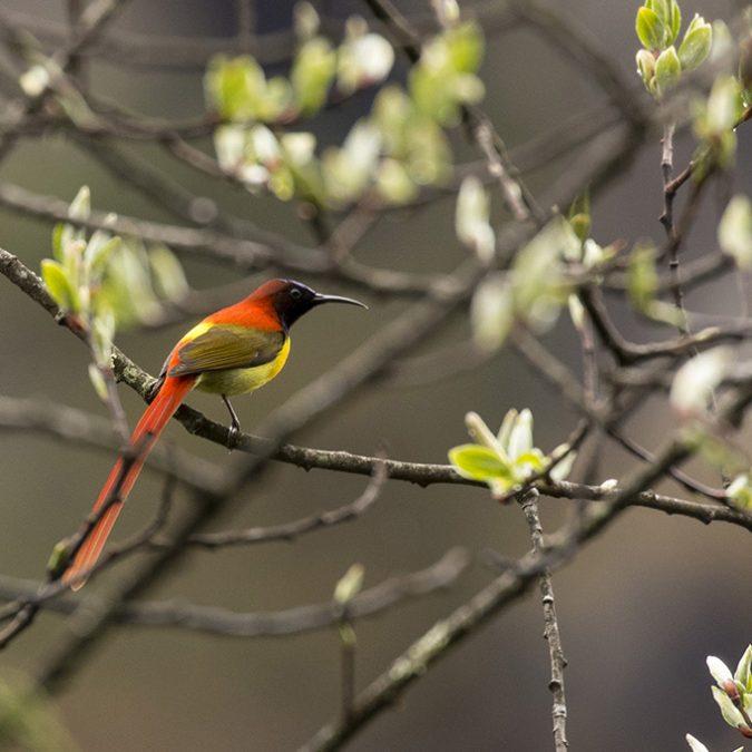 Sikkim fire tail sunbird