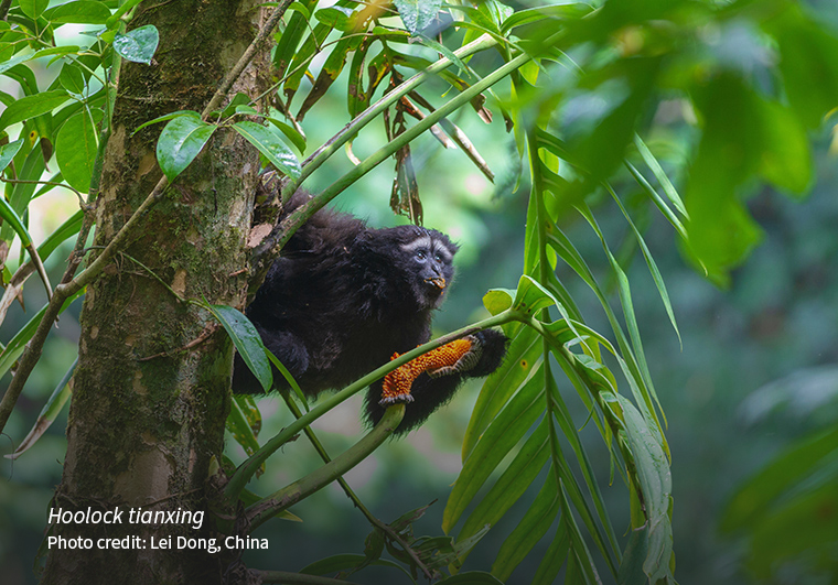 The Gaoligong hoolock gibbon