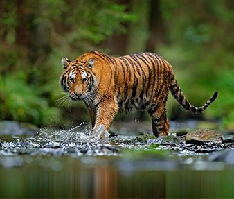 A shared landscape for tigers