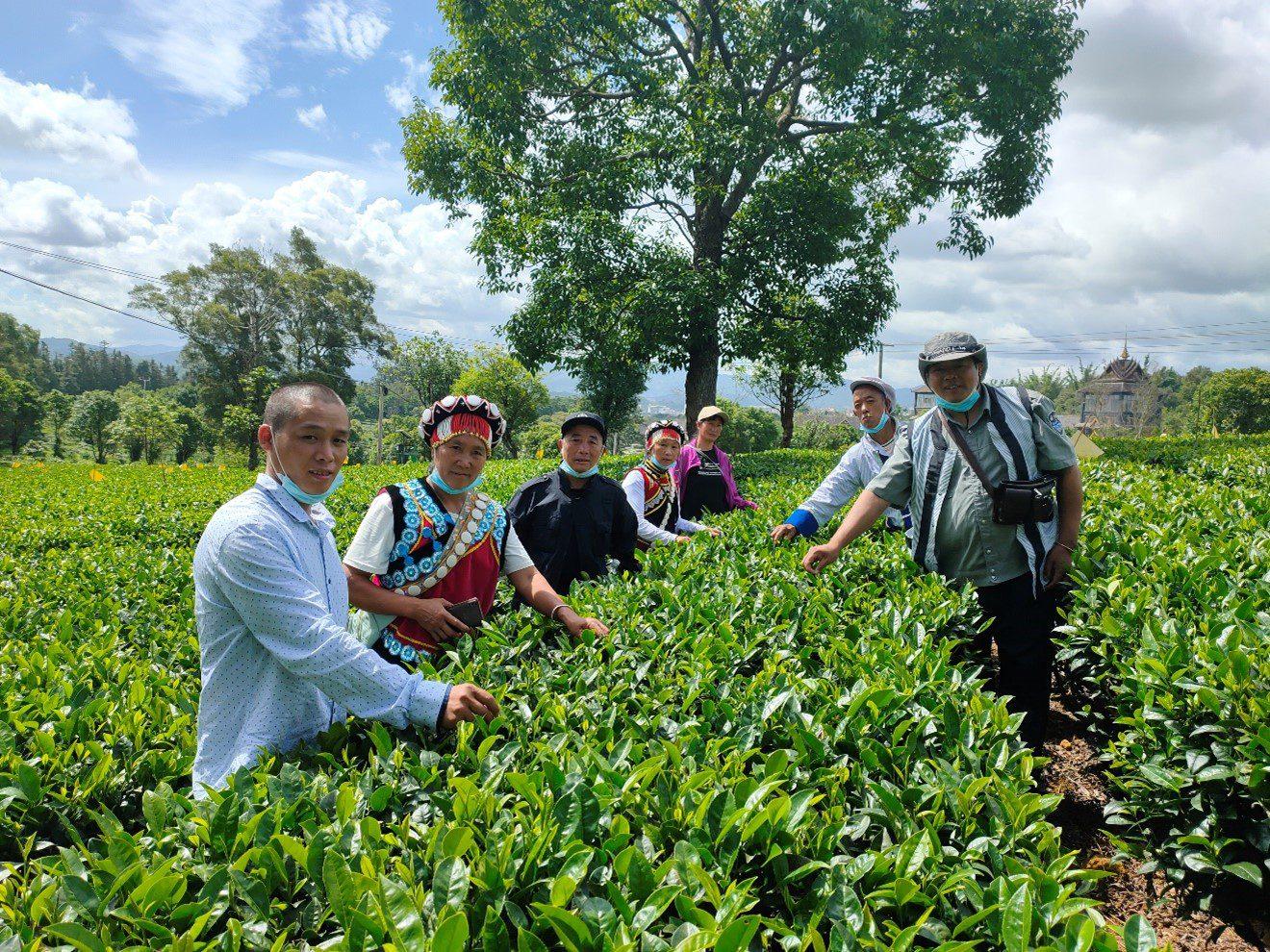 experimental tea fields